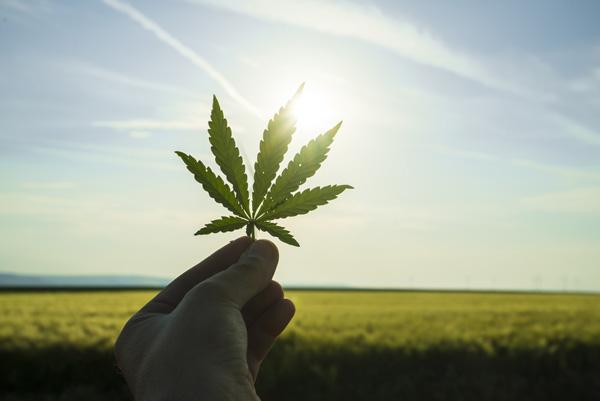 Hand holding a marijuana leaf